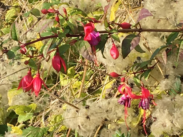 Haiku of the Week Features: Fuschia