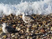 gulls n stones