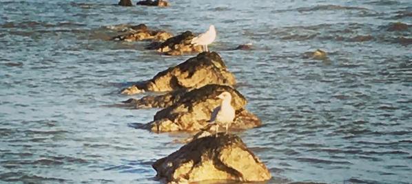 Haiku of the Week Features: Seagulls